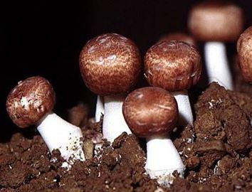 nấm agaricus giàu hàm lượng beta-glucan